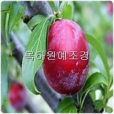 자두나무(자엽자두),접목1년특묘,목하원예조경 