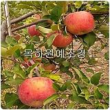 사과나무(홍로),접목1년특묘,목하원예조경 Echeveria Hongro