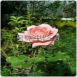 사계고급정원장미(겹분홍),2지이상,개화주,목하원예조경 