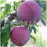 자두나무(피자두),접목1년특묘,목하원예조경 