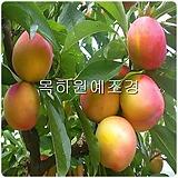 자두나무,슈퍼왕자두(접목1년특묘),목하원예조경 