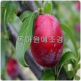 자두나무,조생왕자두(홍로센),접목1년특묘,목하원예조경 Echeveria Hongro