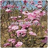 옥매화나무(오이도),접목1년특묘,목하원예조경 
