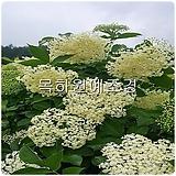 블랙엘더베리나무(실생2년특묘),목하원예조경 