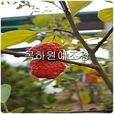 뽕나무,꾸지뽕나무(실생2년특묘,국산재배묘),목하원예조경 