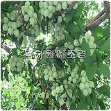 은행나무(실생2년특묘),목하원예조경 