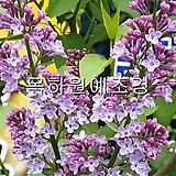 라일락나무(1미터전후),5+5주,10주묶음,목하원예조경 Echeveria cv Peale von Nurnberg