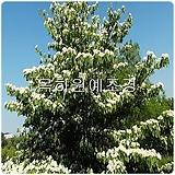 층층나무(2년생특묘),목하원예조경 