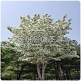 이팝나무(3년생특묘),목하원예조경 