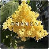 라일락나무(황금라일락,향수나무),접목2년특묘,목하원예조경 Echeveria cv Peale von Nurnberg