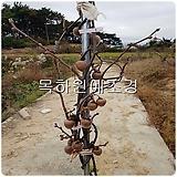 키위나무,제니키위(자가수정키위)(결실주,H1.8전후),목하원예조경 