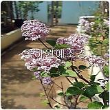 미스김라일락나무(분묘,개화주)H0.6전후,목하원예조경 Echeveria cv Peale von Nurnberg