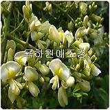 회화나무(1년생특묘),목하원예조경 