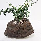 좀마삭줄 마삭 자연 화산석 석부작 분재|