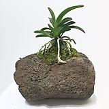 소엽 풍란 자연 화산석 석부작 분재|