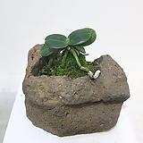 대엽 풍란 자연 화산석 석부작 분재|
