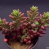 오로라|Sedum rubrotinctum cv.Aurora