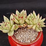 묵은 골드동운 Echeveria agavoides var. Corderoyi