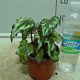 그린딜라이트 베고니아4번-묵은둥이잎베고니아 고급종-귀한품종-동일품배송|