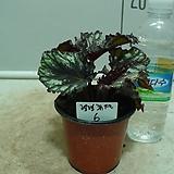 헨렌츄펠 헨렌튜펠 베고니아6번-묵은둥이잎베고니아 고급종-귀한품종-동일품배송|