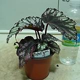 헨렌츄펠 헨렌튜펠 베고니아7번-묵은둥이잎베고니아 고급종-귀한품종-동일품배송|