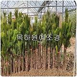 소나무(해송,1미터전후),목하원예조경 