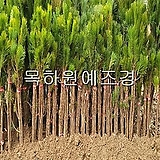 소나무(해송,1.2미터전후),목하원예조경 