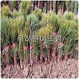 소나무,조선소나무(1-1묘,2년생),(적송),20주묶음,목하원예조경 