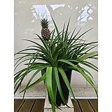 파인애플 나무 다육 대품 포트 특이식물|