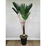 [서울,경기]도시루 야자나무(포트) 서울,경기배송 특이식물|