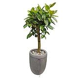 뱅갈고무나무 고급폴리분 개업축하화분 사무실식물 DLP-042|