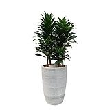 드라세나 콤팩타 개업축하화분 거실인테리어식물 DLP-126|