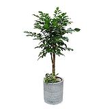 녹보수 나무 (사기 완성분) 대품 大 오픈기념 창업 축하화분 DLP-145|Sedum dendroideum