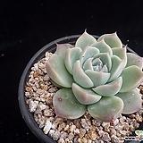 알바뷰티283|Echeveria Alba Beauty