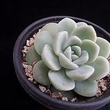 아이시그린122|Echeveria Ice green
