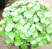 워터코인-수경식물|