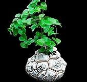구갑룡 씨앗 10립 Dioscorea elephantipes
