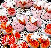 카라스몬타나 믹스 씨앗 (30립) /리톱스씨앗 ( Lithops karasmontana )---다육이 화분 비료 분갈이 철화 선인장 분재 꽃|