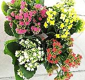 꽃봉오리 많은 카랑코에(소품)상품 