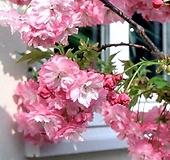 겹벚꽃나무 묘목♥겹벚나무 겹벚 겹벗 벚꽃 벗꽃 벚나무 벗나무|