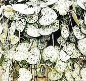 러브체인(대품) 하트모양 잎들이 가느다란 줄기에 매달려 올망졸망,에고 이뻐라|