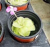 벌레잡이제비꽃(식충식물 모라넨시스대엽 - 벌레잡이 식충식물 