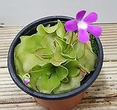 식충식물/벌레잡이제비꽃모라넨시스(대엽) - 벌레잡이 식충식물 