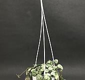 러브체인(공중식물)걸이식물|