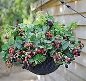 자가수정 스위트 블랙베리 화분상품♥블랙 베리 나무|Graptopetalum blackberry