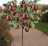 미니사과 루비에스 No.2♥왜성사과♥당도높은 신품종 사과나무♥화분째 배송상품♥미니 사과 애기사과|