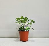 레몬밤/인테리어/공기정화식물/반려식물|