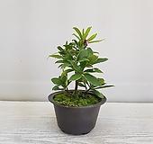 천리향/공기정화식물/인테리어/반려식물 