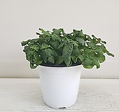 레몬밤/공기정화식물/인테리어/반려식물|