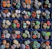 리톱스 믹스 씨앗(300립)-280여종이 섞여 있어요/리톱스씨앗|Lithops